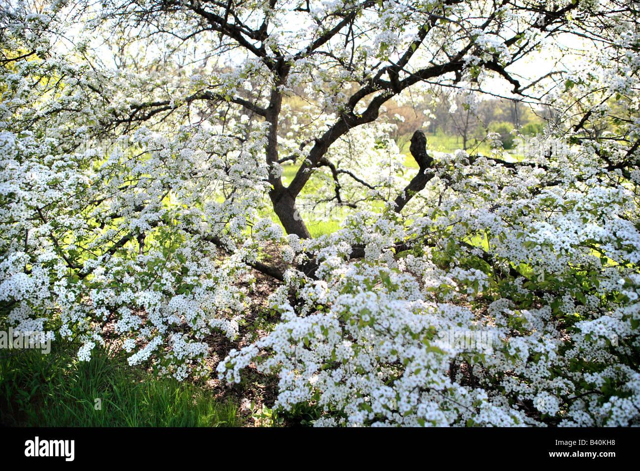 White Flowering Dogwood Cornus Florida Cloud 9 In Spring In Northern