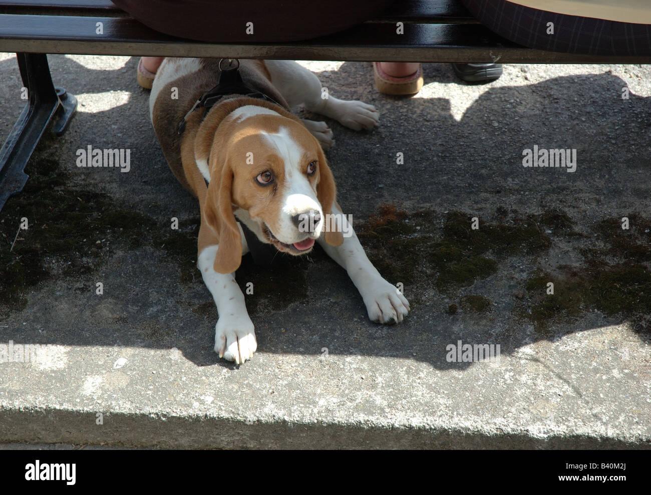dog tied, England, UK - Stock Image