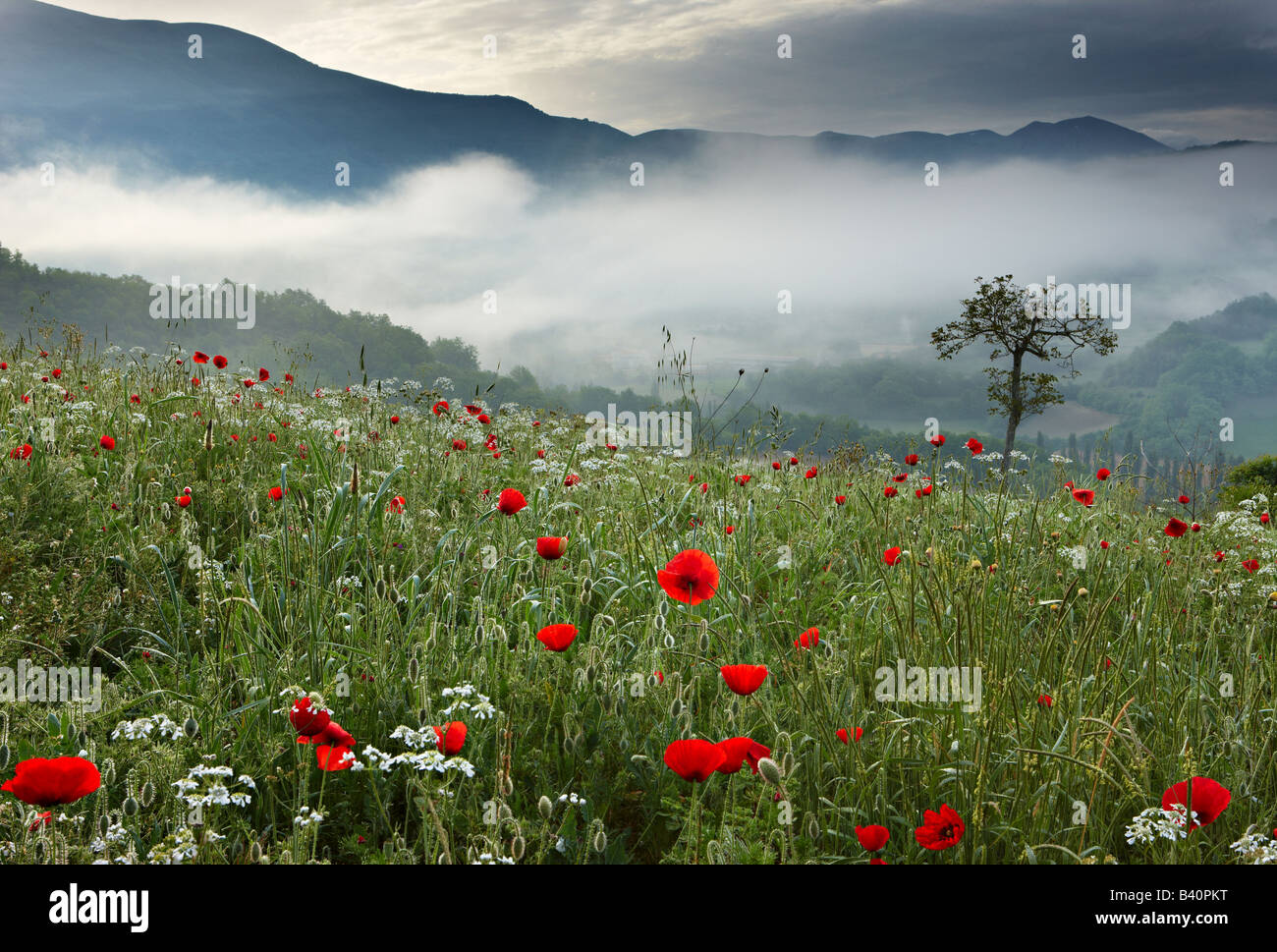 a poppy field in the Valnerina near Preci with the mountains of Monti Sibillini National Park rearing above, Umbria, - Stock Image