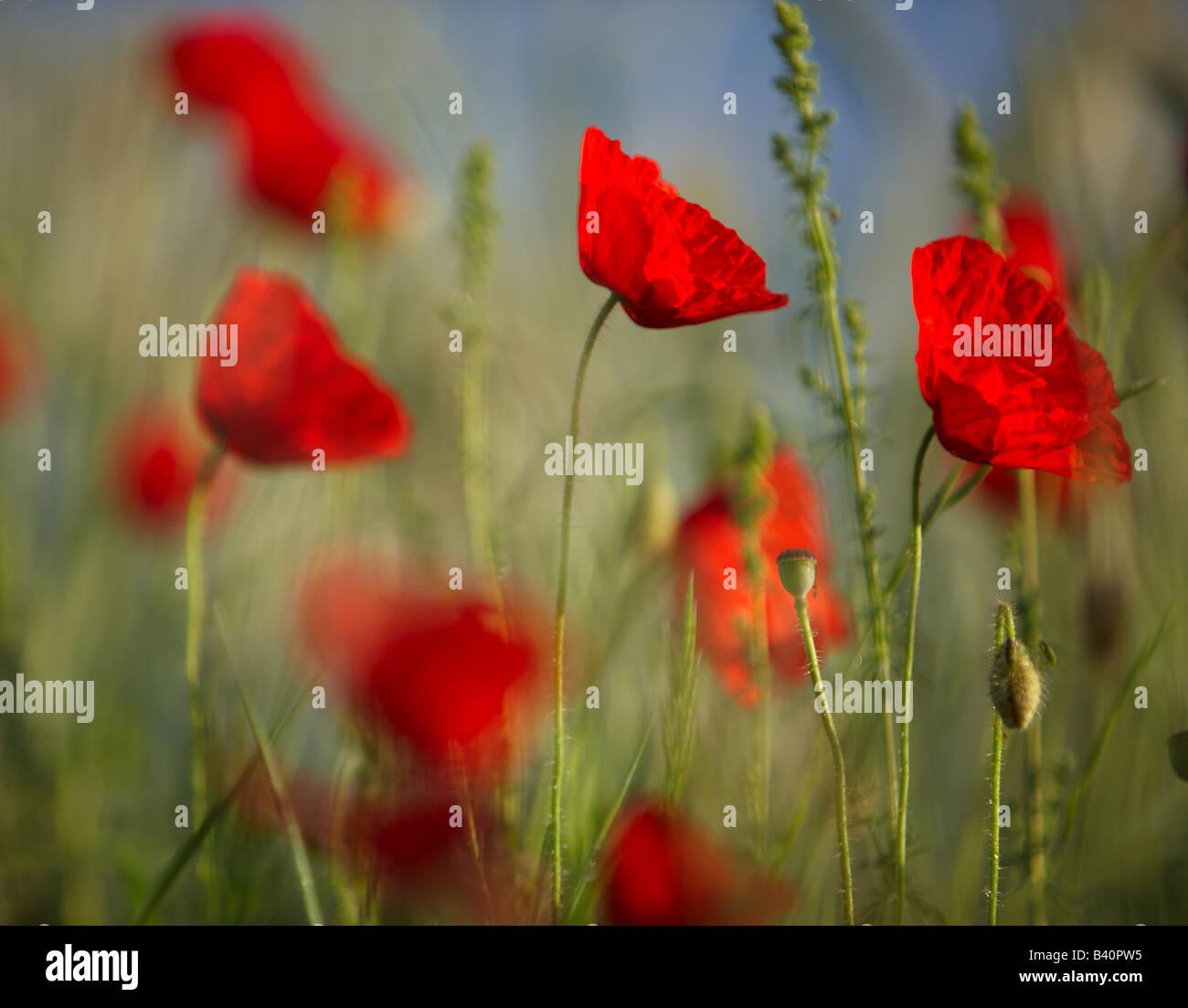 poppies in the Valnerina, Umbria, Italy - Stock Image