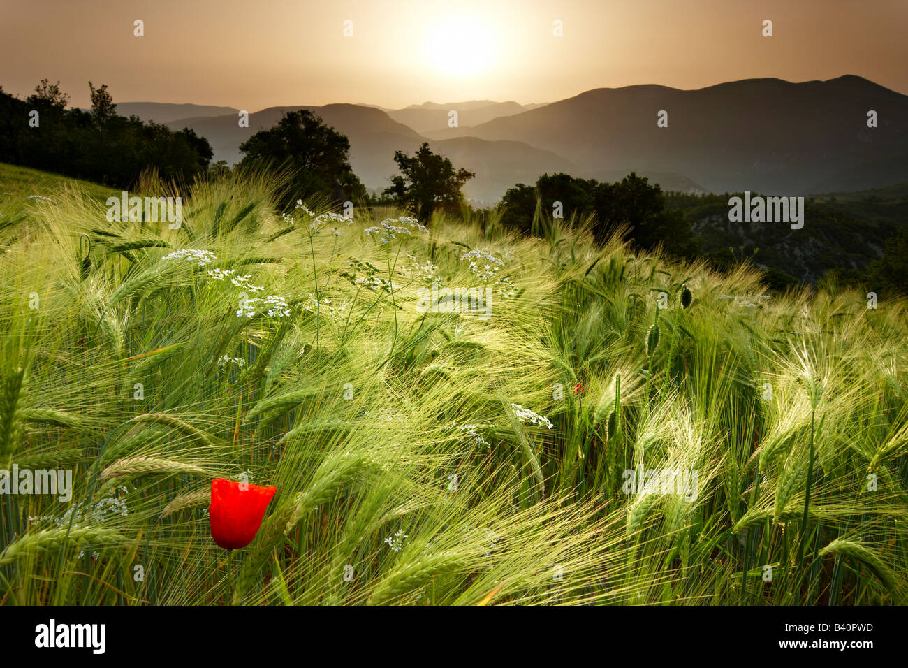 dawn in a barley field overlooking the Valnerina near Meggiano, Umbria, Italy Stock Photo