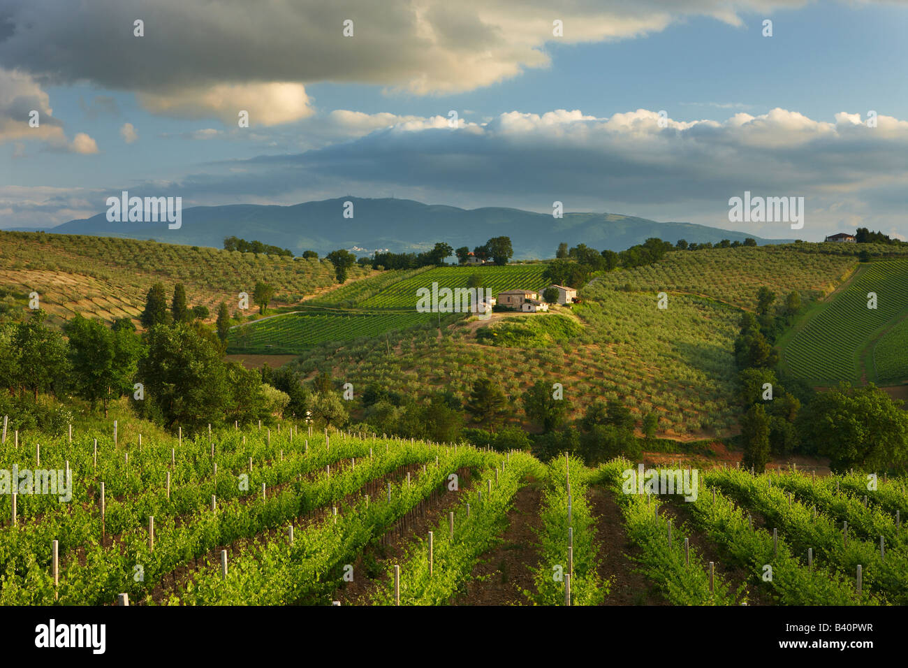 a vineyard near Montefalco in the Val di Spoleto, Umbria, Italy Stock Photo