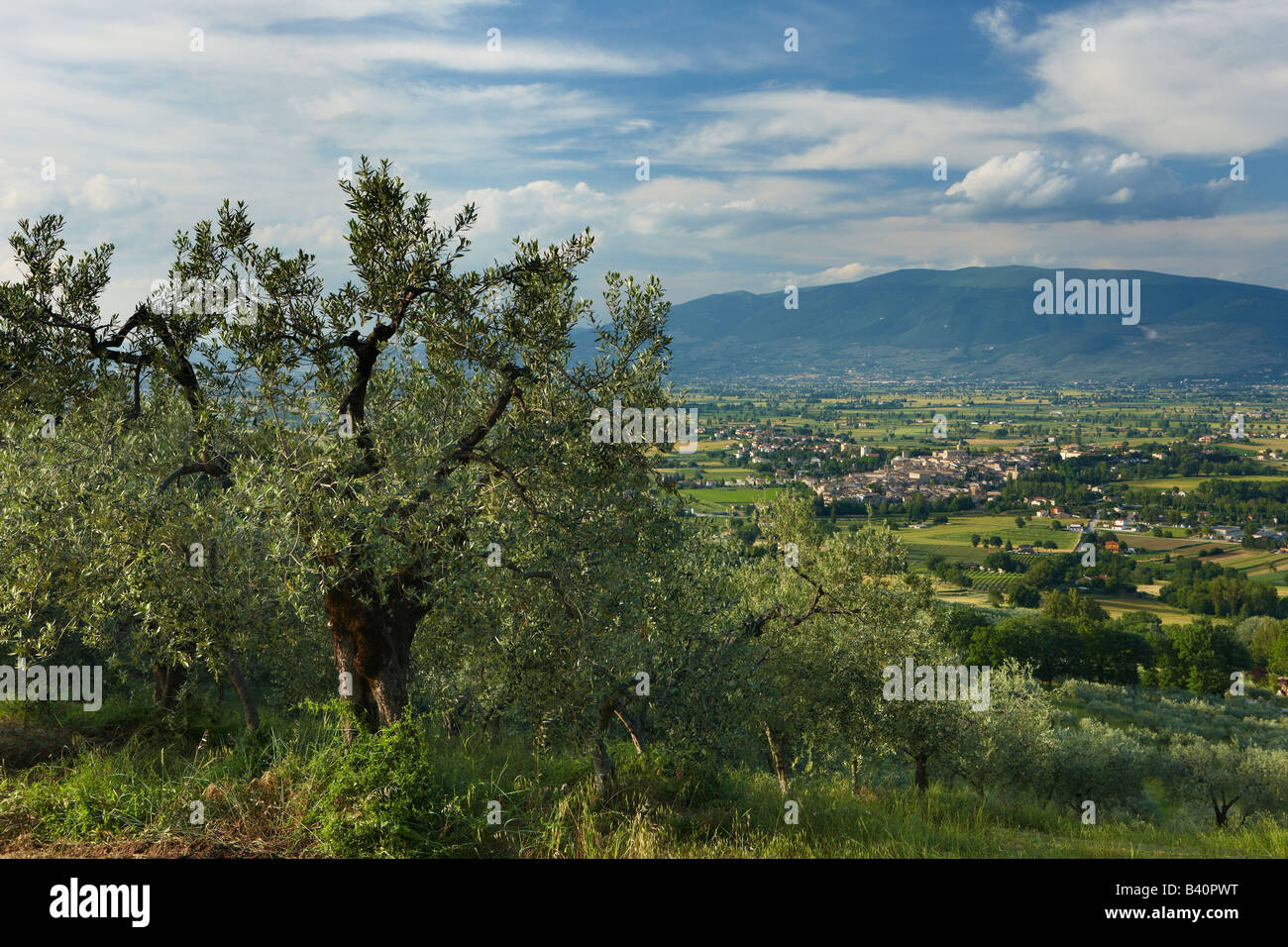 an olive grove overlooking Bevagna and the Val di Spoleto, Umbria, Italy - Stock Image