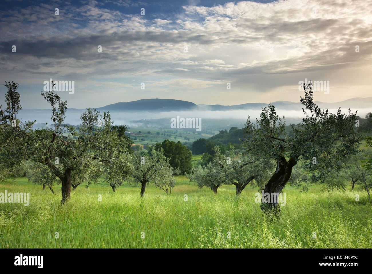 an olive grove near Montefalco, Umbria, Italy - Stock Image