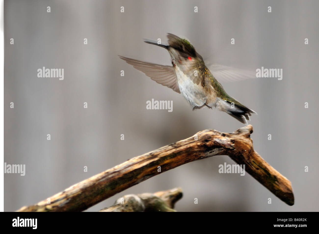 An immature male Ruby throated Hummingbird, Archilochus colubris, flies from a branch. Oklahoma, USA. Stock Photo