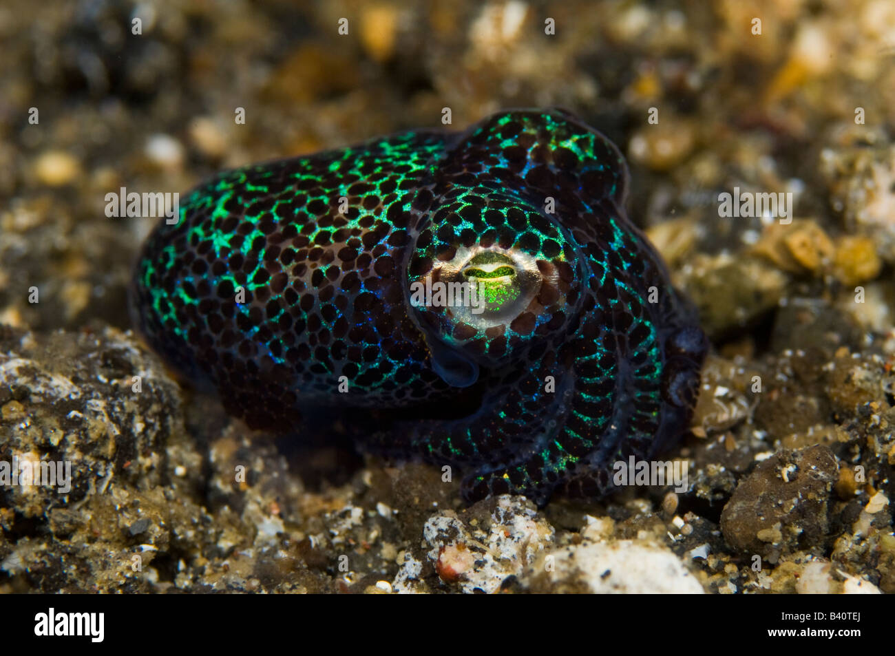 Bobtail Squid Euphrymna berryi a nocturnal predator found in Lembeh Strait Indonesia - Stock Image