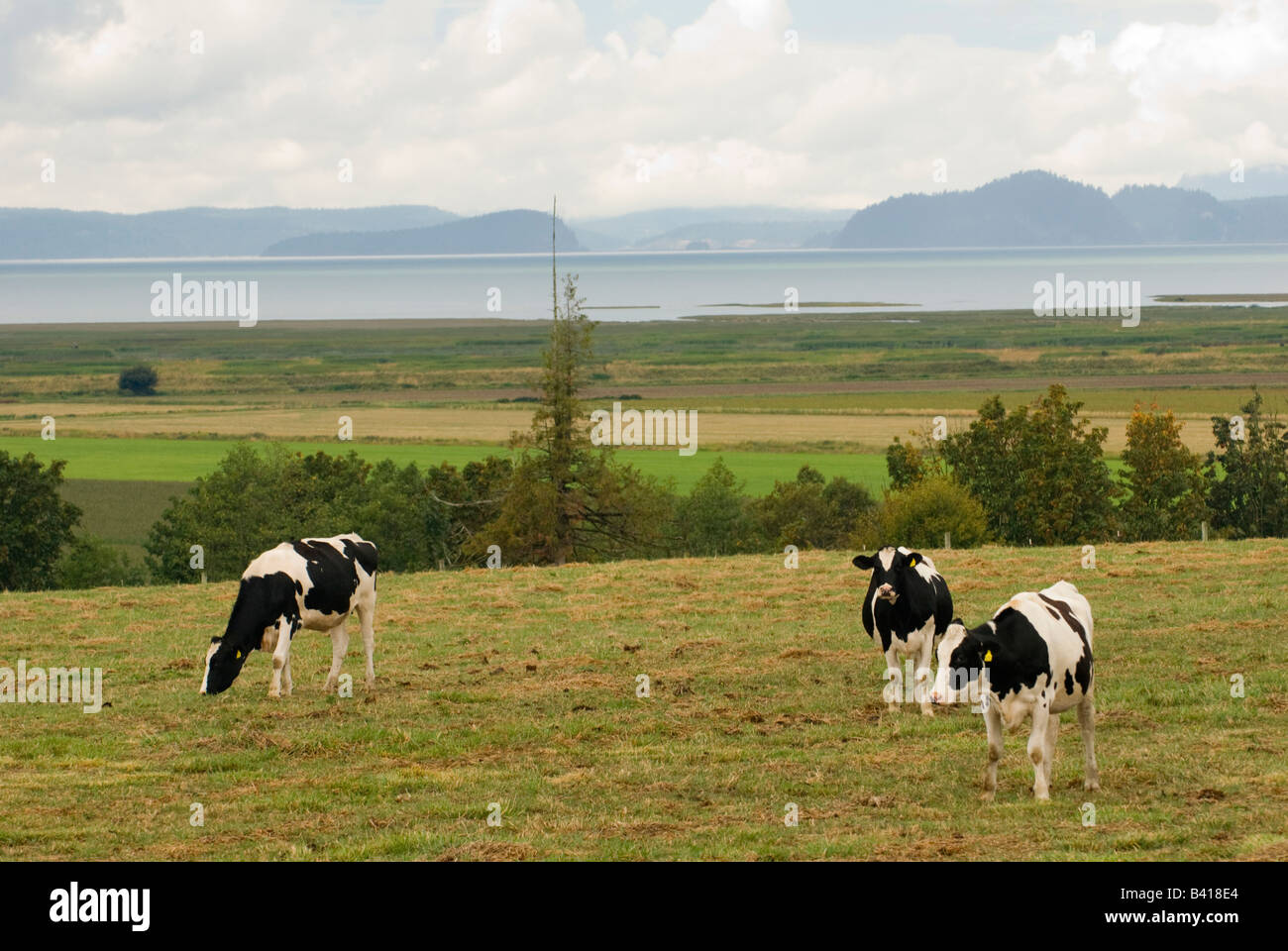 USA, WA, Skagit Valley.  Pasture with view.  Holsteins graze on scenic pastureland overlooking Puget Sound - Stock Image