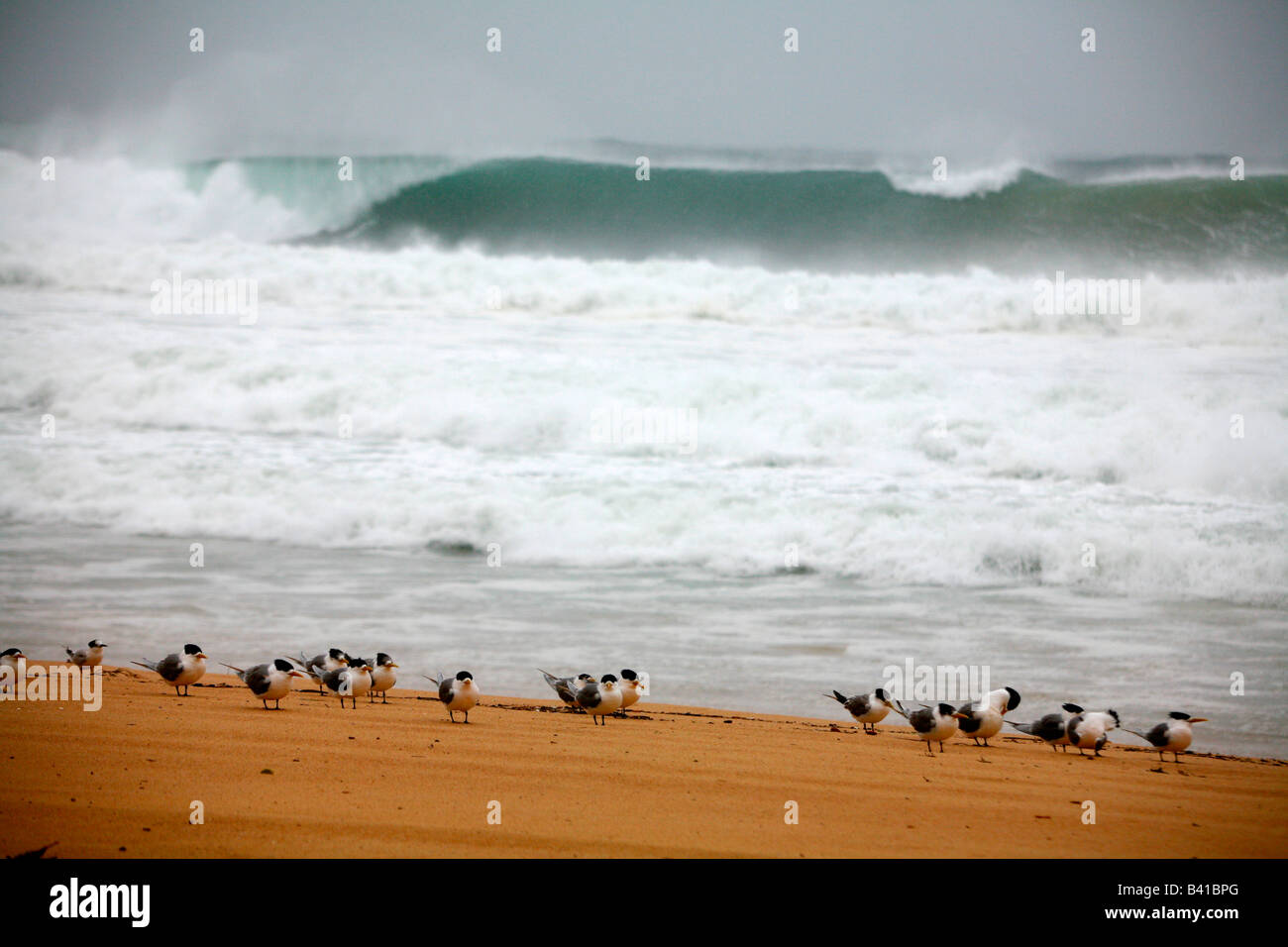 Terns on a deserted beach at Manly Australia - Stock Image