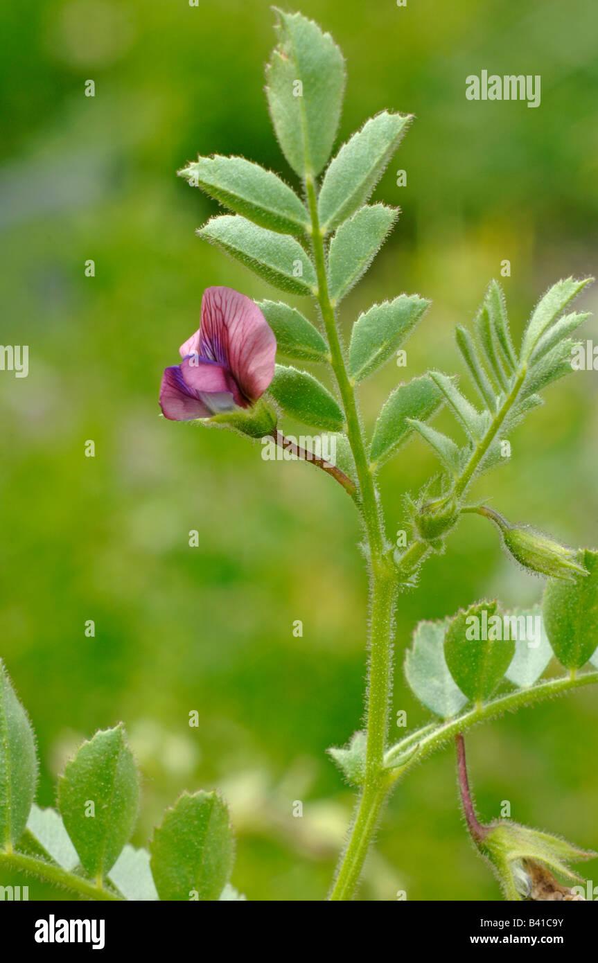 Chick Pea, Chickpea (Cicer arietinum) flowering Stock Photo