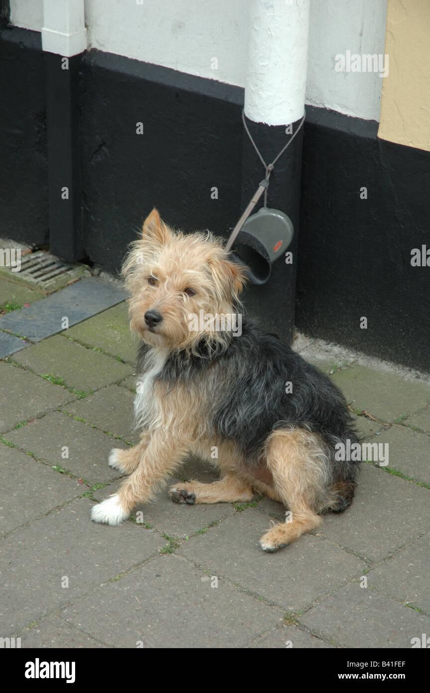 terrior dog, tied, England, Uk - Stock Image