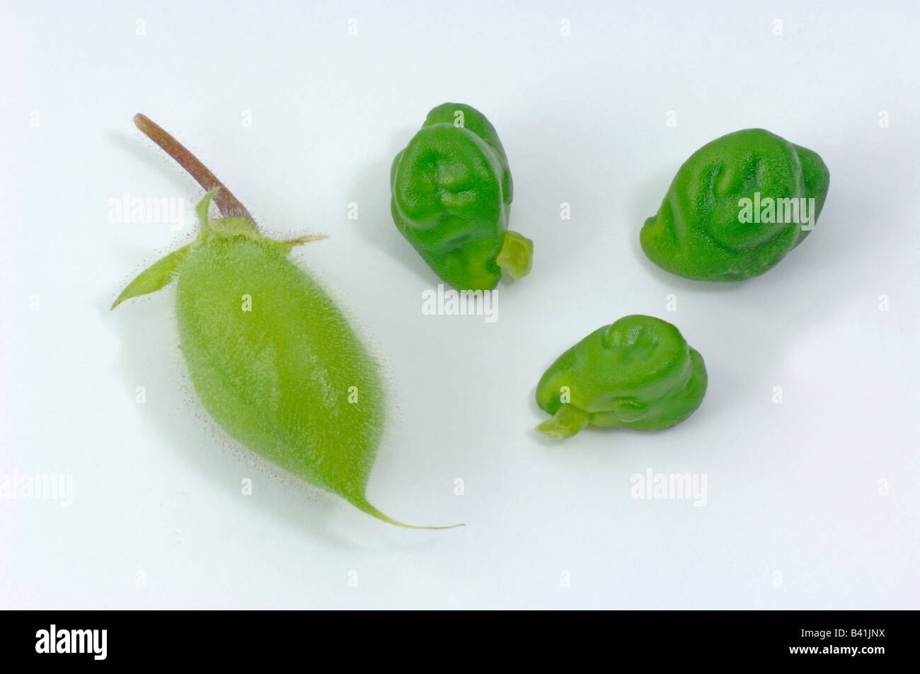 Chick Pea, Chickpea (Cicer arietinum) seedpods and seeds studio picture Stock Photo
