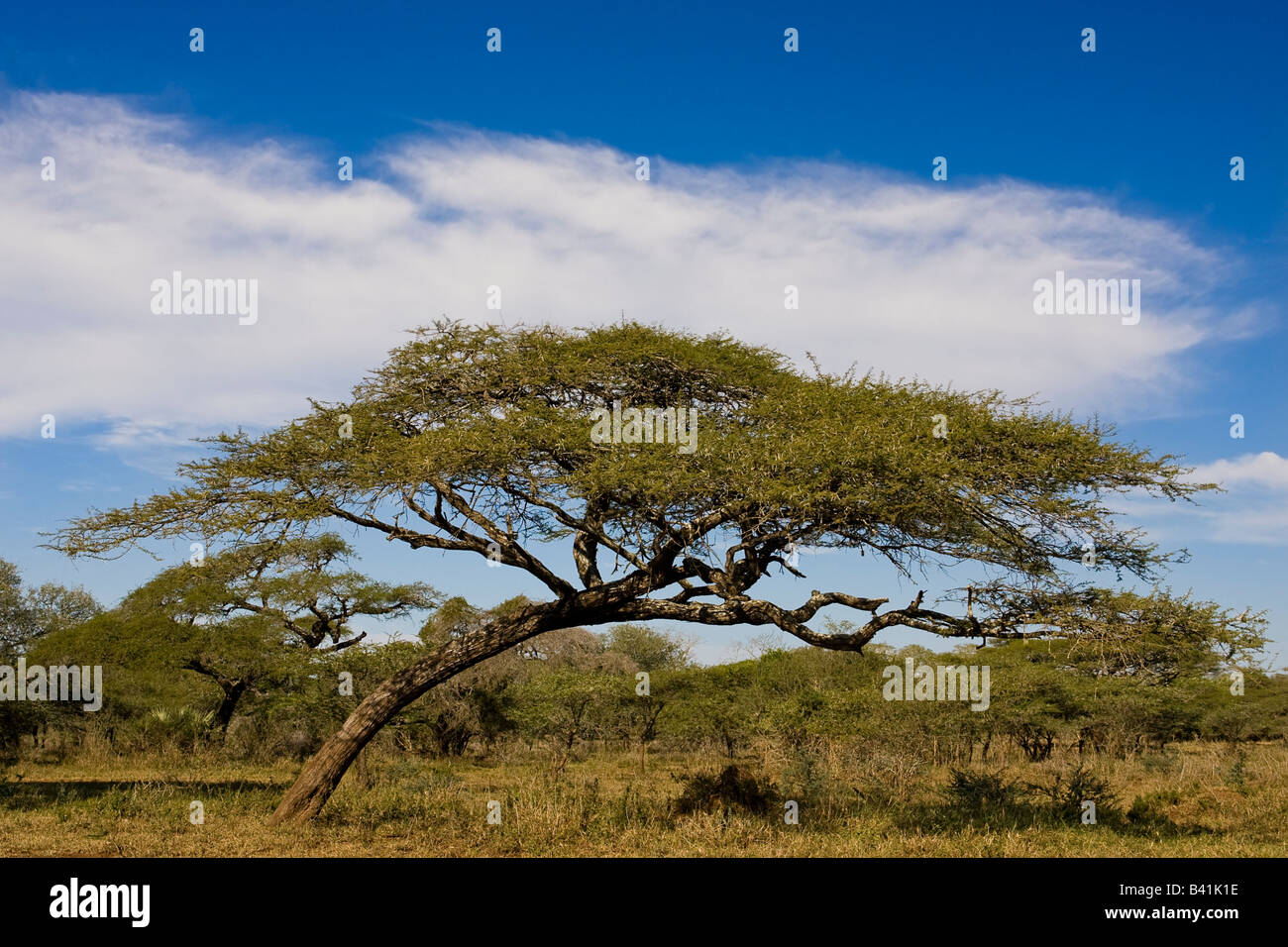 Lone Umbrella Thorn Acacia Tree Against A Beautiful Sky The Shot Was