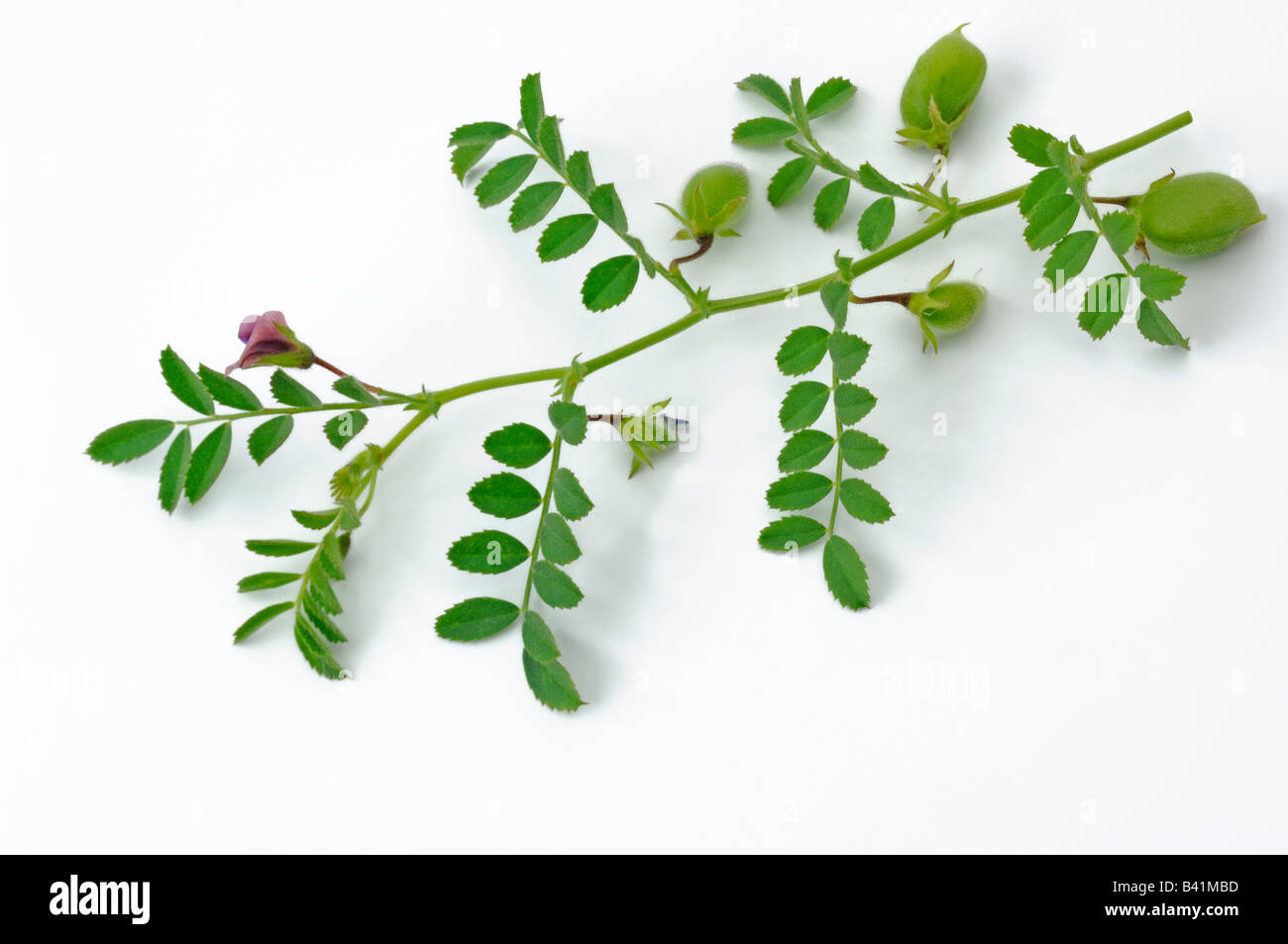 Chick Pea Chickpea (Cicer arietinum) twig with seedpots and flowers studio picture - Stock Image