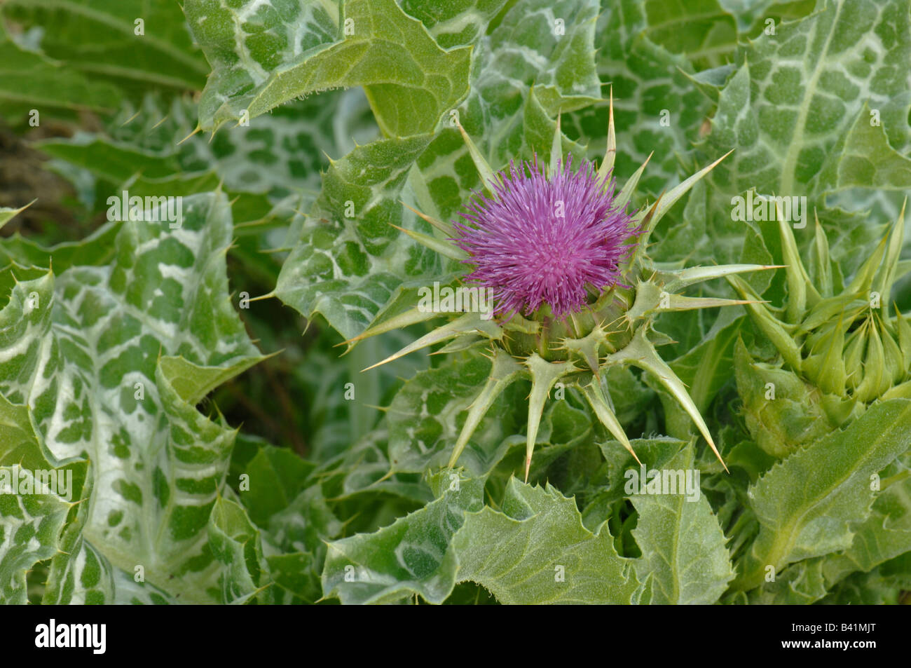 Blessed Milk Thistle,Our Ladys Thistle (Silybum marianum) flowering plant - Stock Image