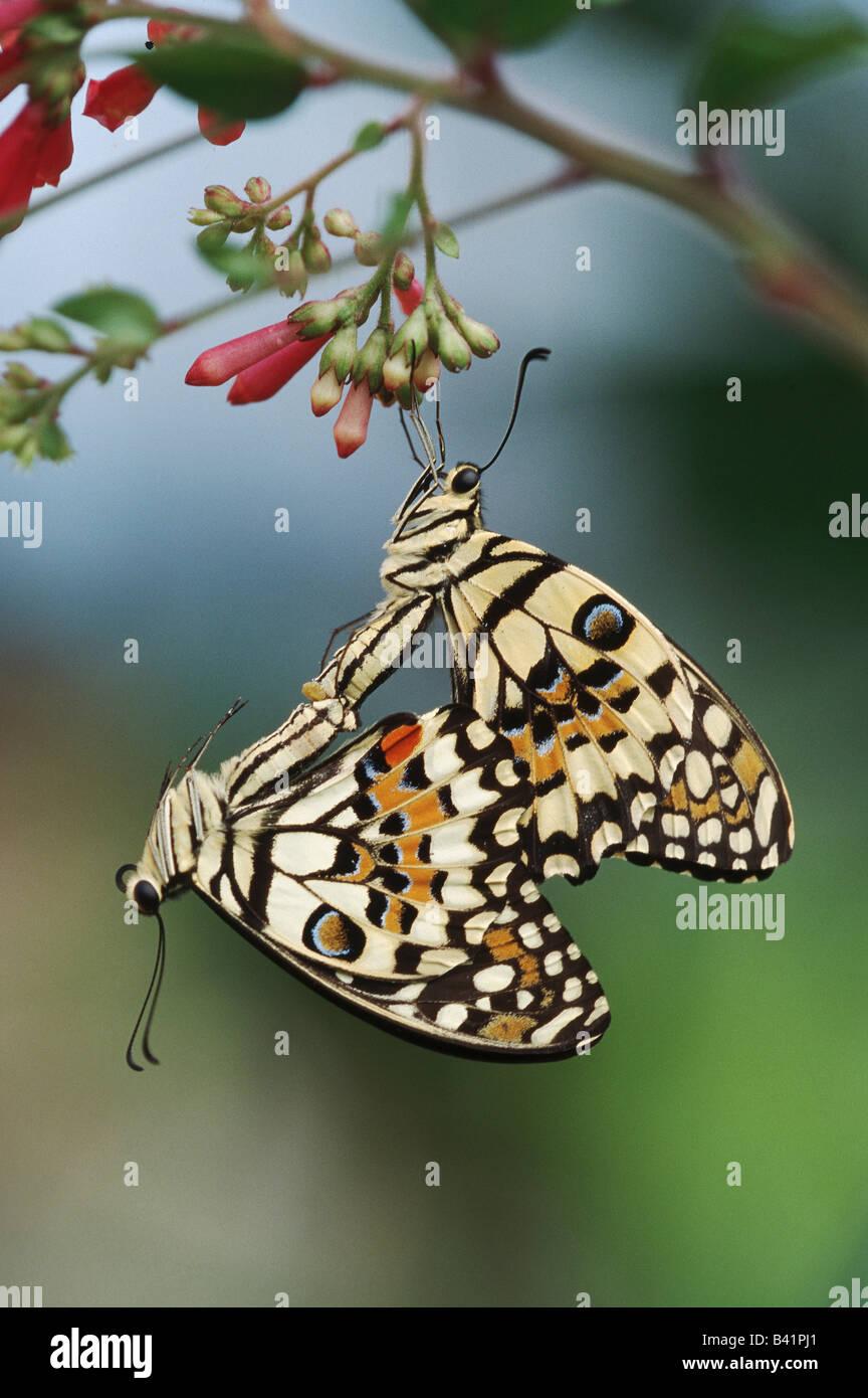 Lemon Butterfly Papilio demoleus pair mating captive - Stock Image