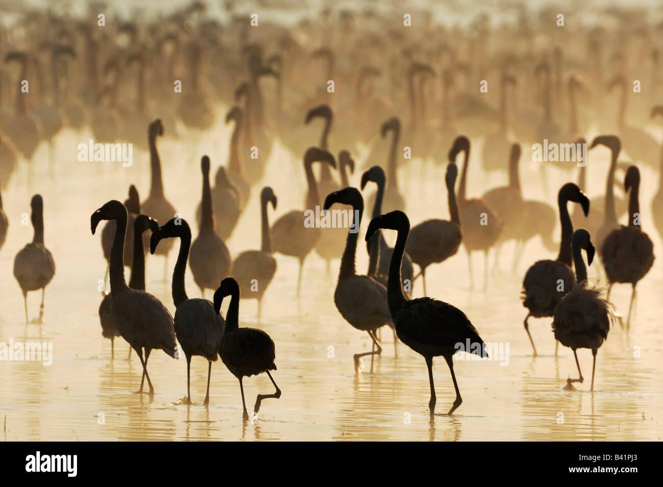 Greater Flamingo Phoenicopterus roseus and Lesser Flamingo large group at sunrise Lake Nakuru Kenya Africa - Stock Image