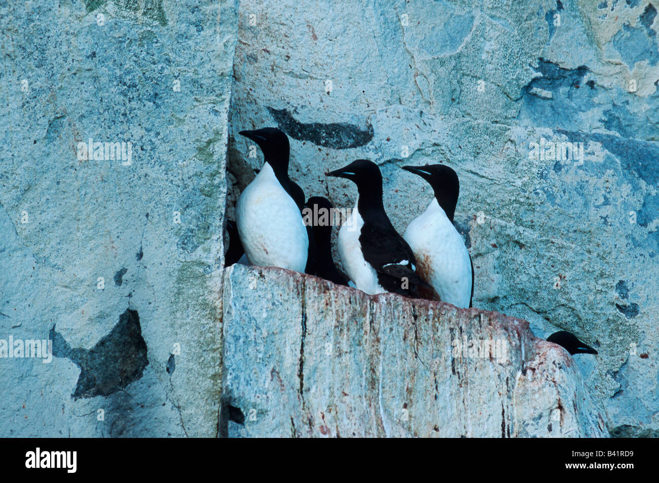 Thick-billed Murre Uria lomvia breeding colonie in cliff Hinlopen Strait Svalbard Spitsbergen Norway Arctic Stock Photo