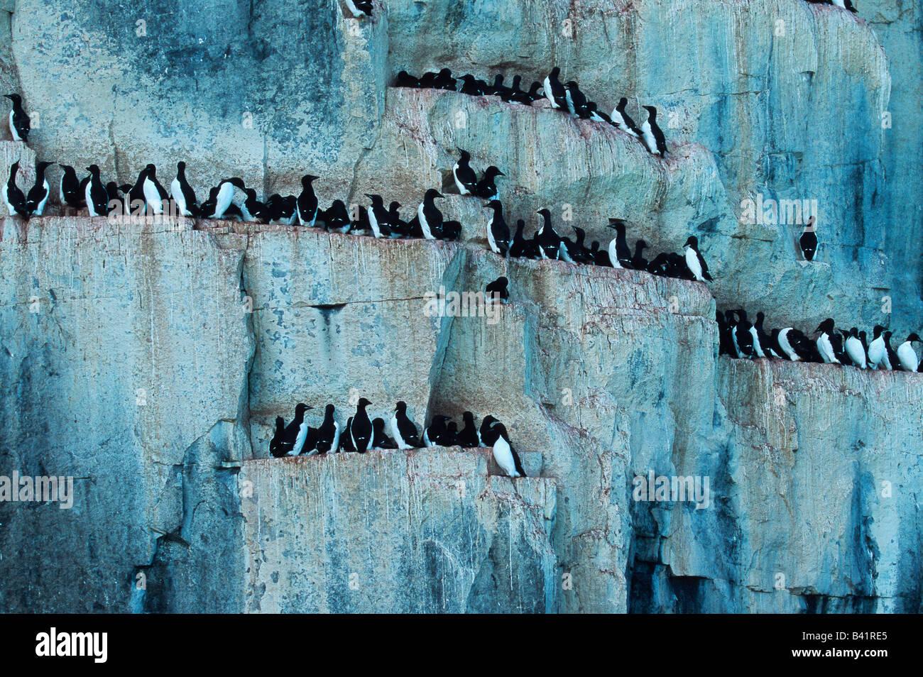 Thick-billed Murre Uria lomvia breeding colonie in cliff Hinlopen Strait Svalbard Spitsbergen Norway Arctic Stock Photo