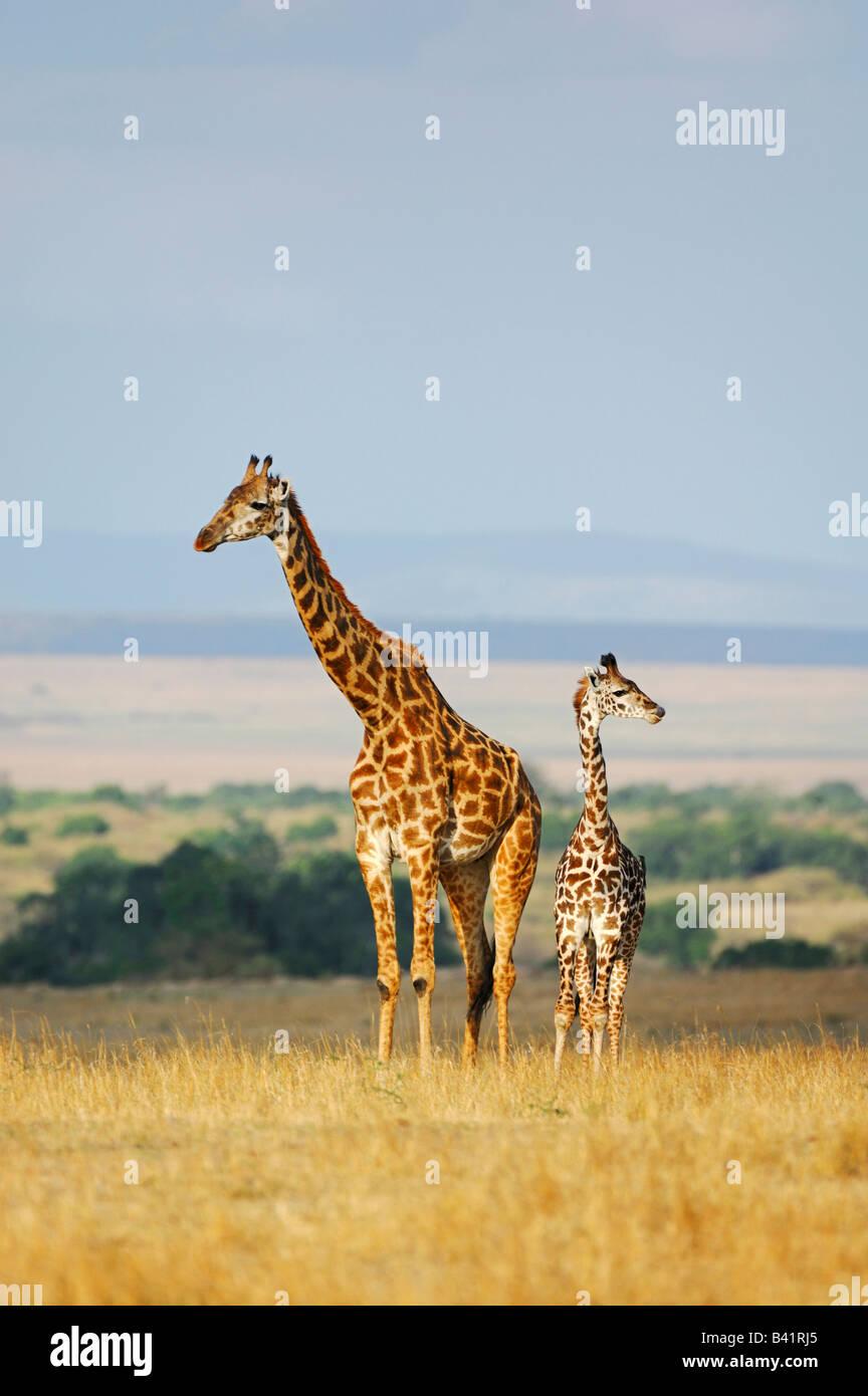Masai Giraffe Giraffa camelopardalis tippelskirchi female with young Masai Mara Kenya Africa Stock Photo