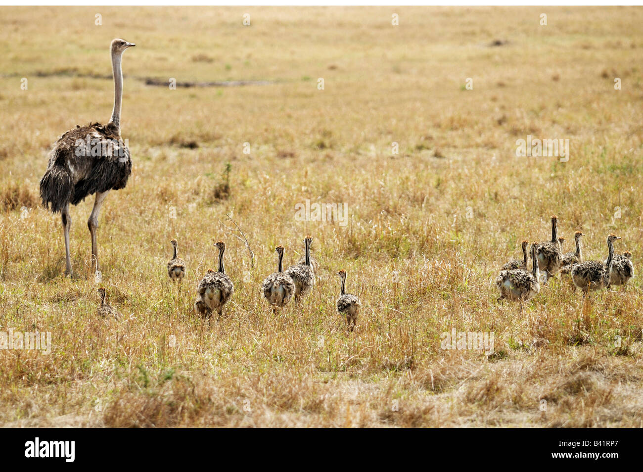Ostrich Struthio camelus mother with young Masai Mara Kenya Africa - Stock Image