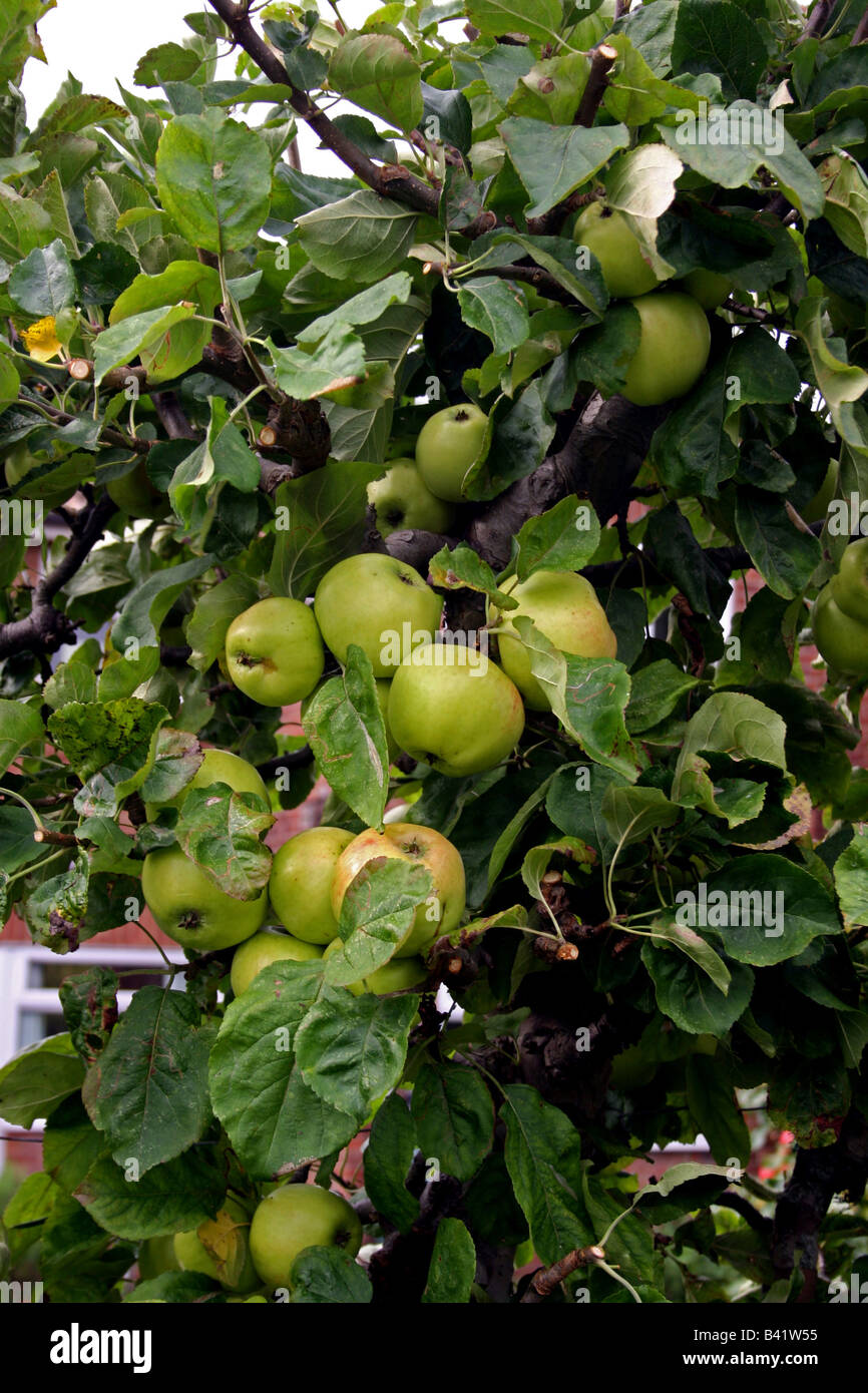 ENGLISH BRAMLEY'S SEEDLING COOKING APPLES ON THE TREE. - Stock Image