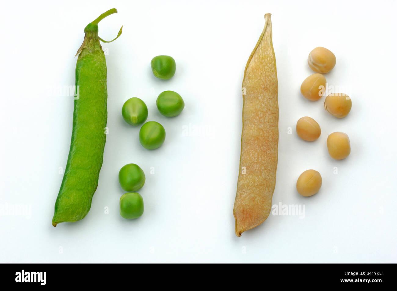 Garden Pea (Pisum sativum) ripe and unripe pods and peas - Stock Image
