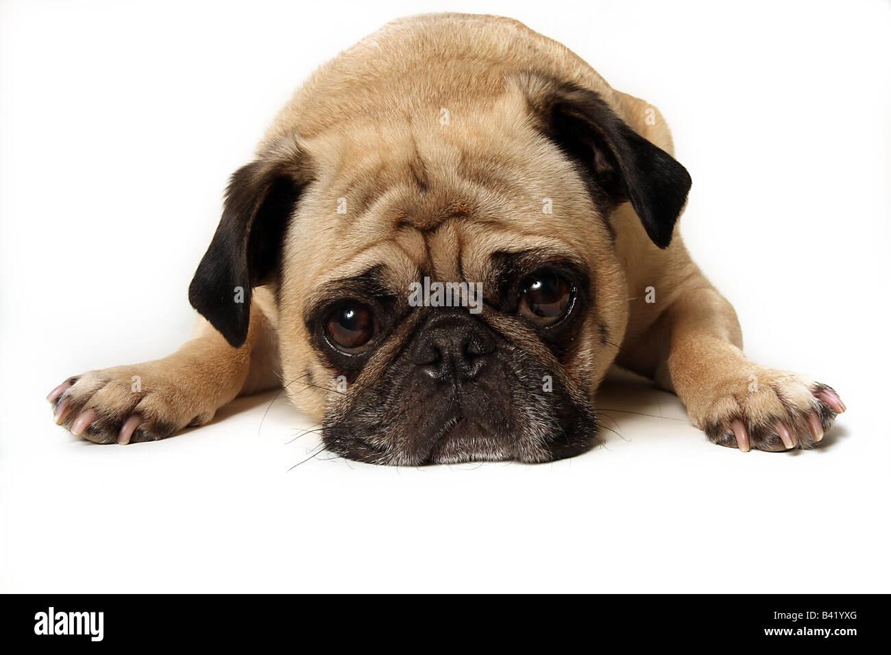 Sad Pug isolated on white. - Stock Image