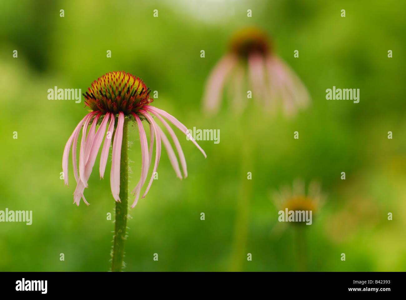 Pale Purple Coneflowers in a Prairie Garden - Stock Image