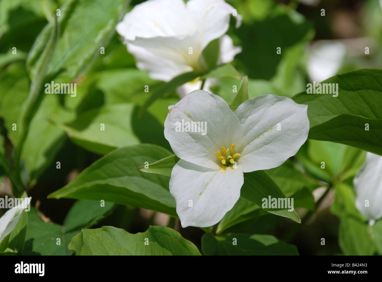 Trillium Flower Ontario Stock Photos Trillium Flower Ontario Stock