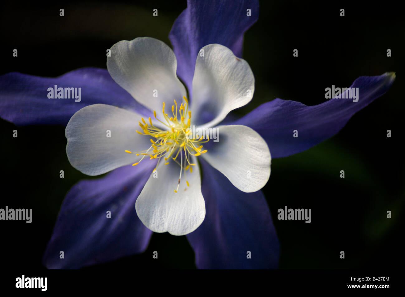 Columbine Colorado State Flower Stock Photos Columbine Colorado