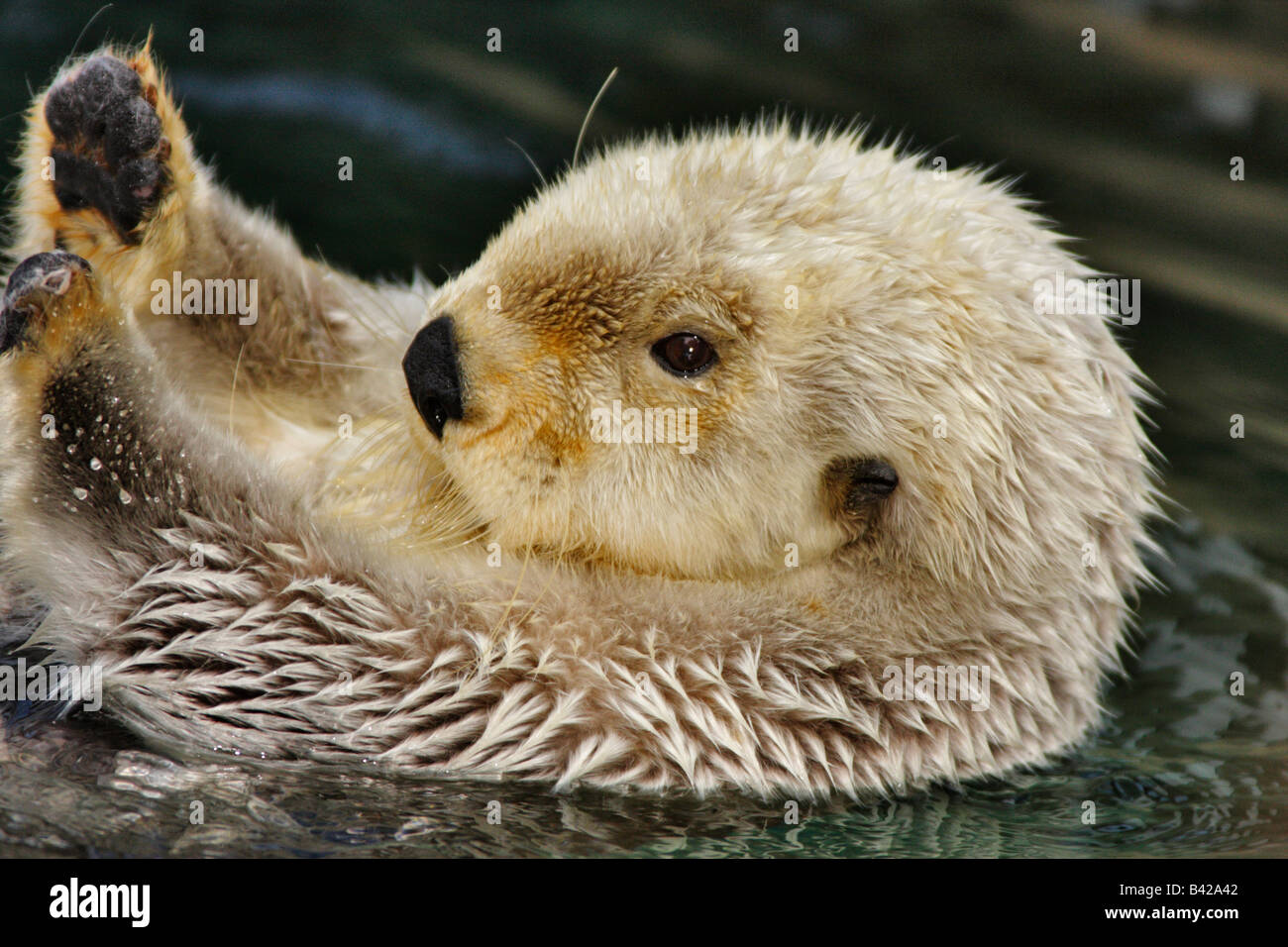 Sea otter grooming fur Note Captive subject - Stock Image
