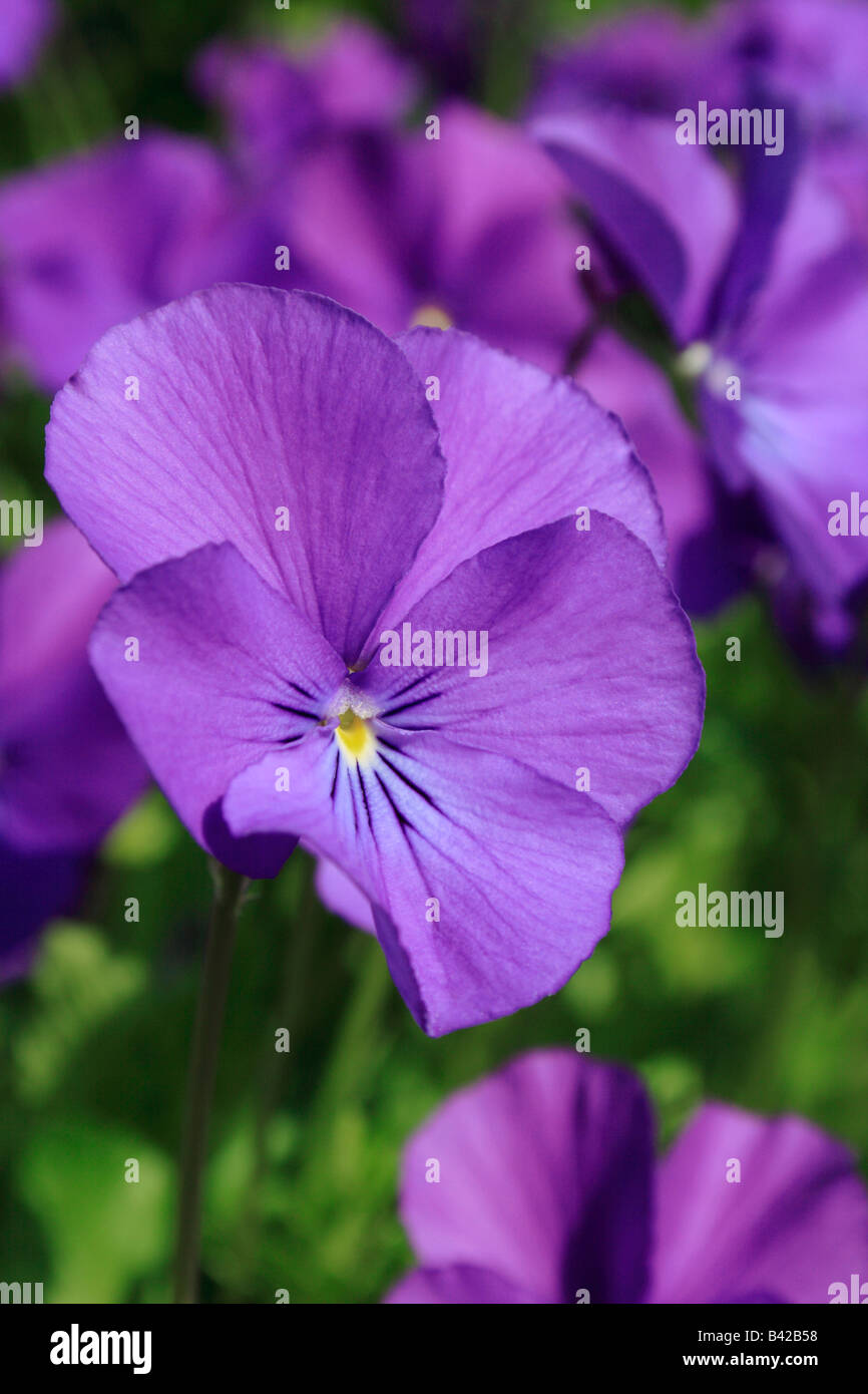 Purple viola or pansy flower - Stock Image