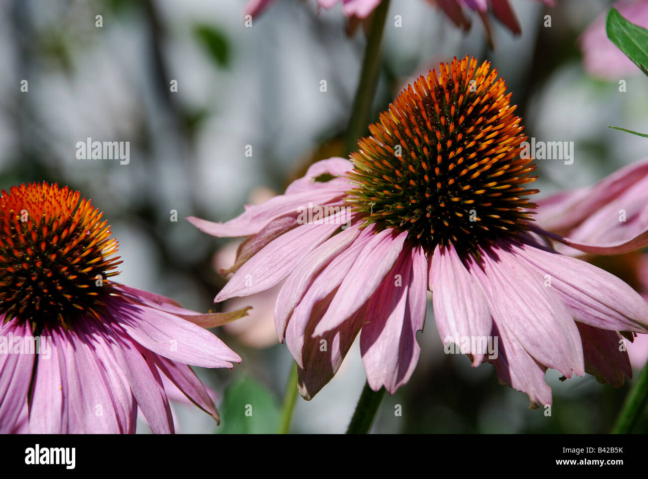 pink flowers, pointy yellow flower buds, garden - Stock Image