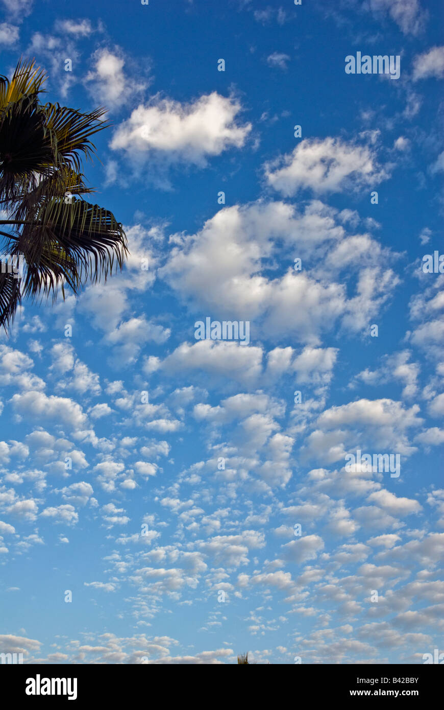 Developing cumulus Clouds, Palm Trees, Blue Sky, Nobody, no one Howard Hughes Center los Angeles California, USA Stock Photo