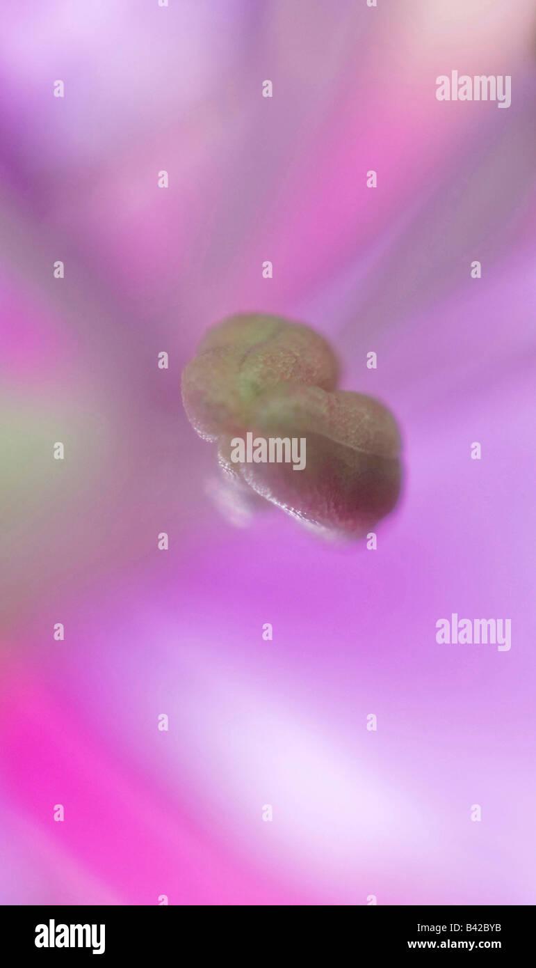 Epilobium angustifolium syn. Chamerion angustifolium, Chamaenerion angustifolium, Other names: Blooming Sally, Fireweed, - Stock Image