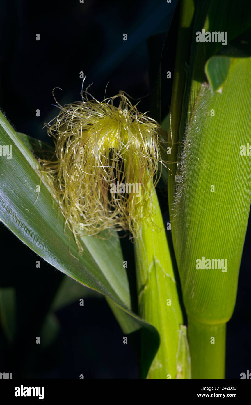 Maize showing ears and silk - Stock Image