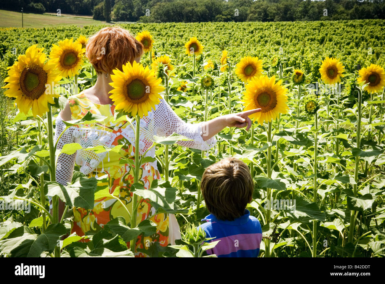 a mother explains to her son the intricacies of a sunflower in the middle of a sunflower field - Stock Image