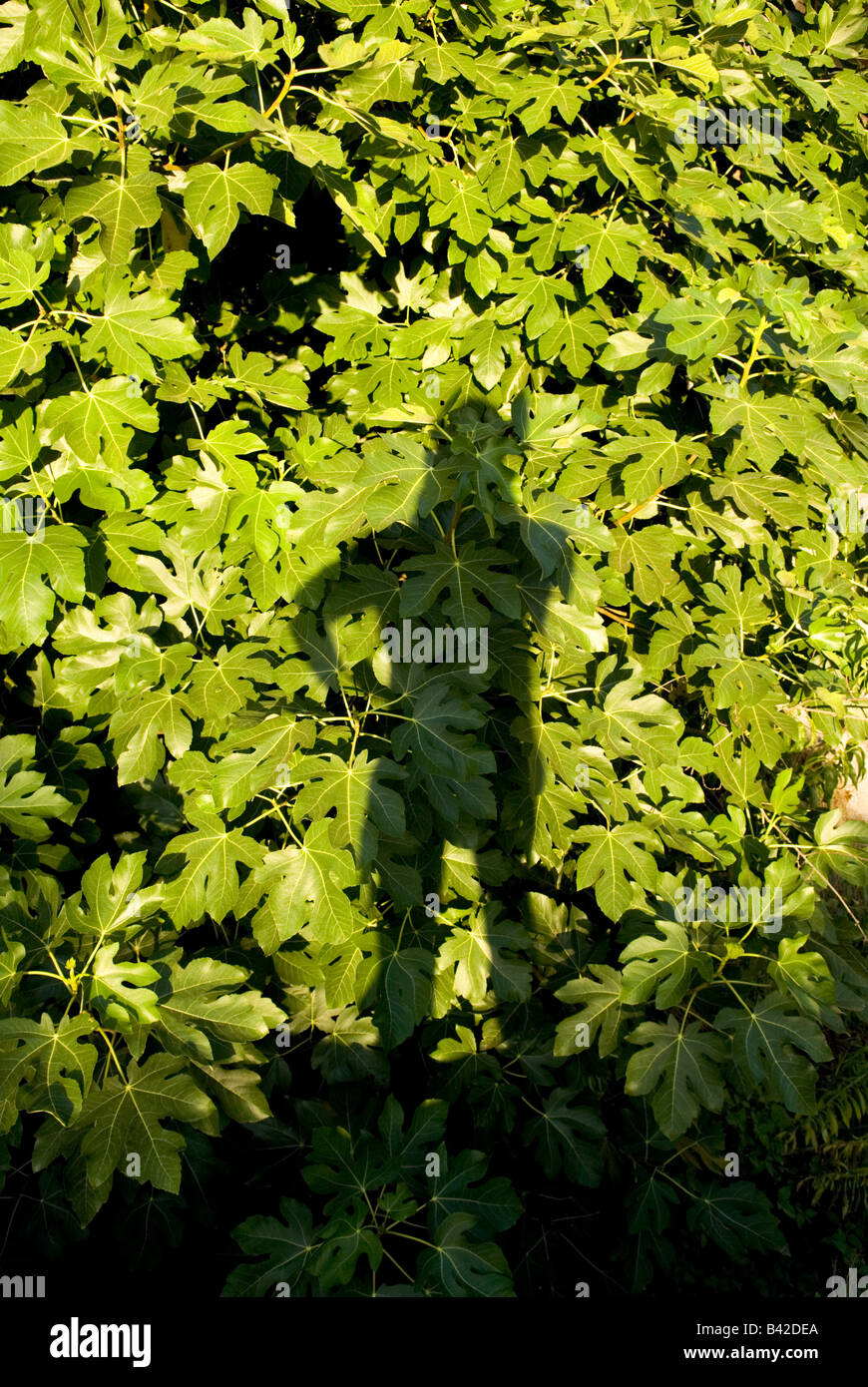 someones full length shadow is projected onto thick foliage provided by a figtree - Stock Image