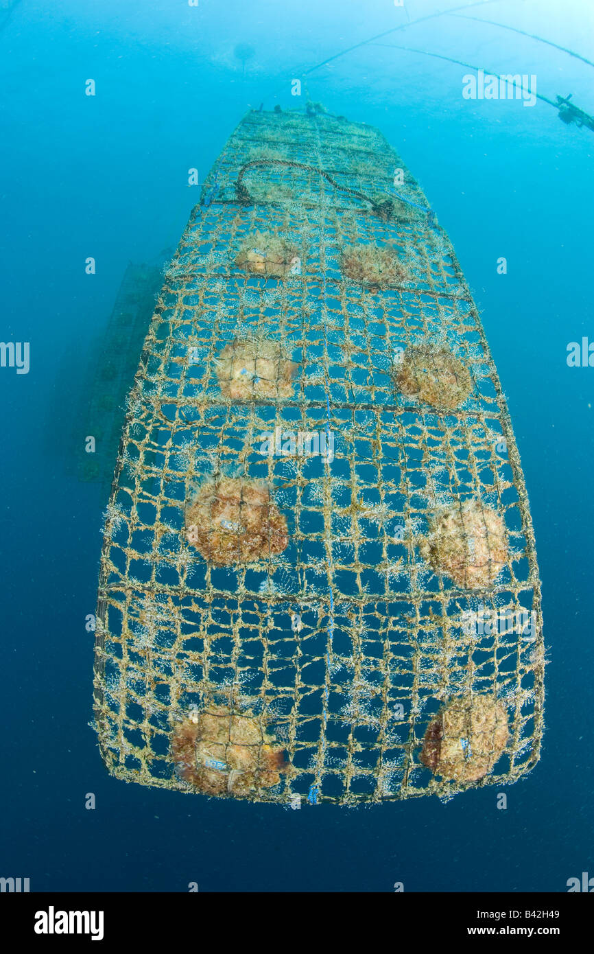 Pearls Farm Rows of Pearls Oyster into Adult Nets Bali Desa Pemuteran Singaraja Indo Pacific Indonesia - Stock Image