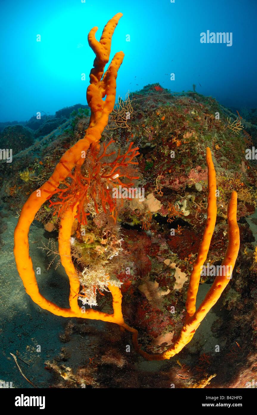 Reef with Finger Sponge Axinella polypoides Maun Island Adriatic Sea Croatia - Stock Image