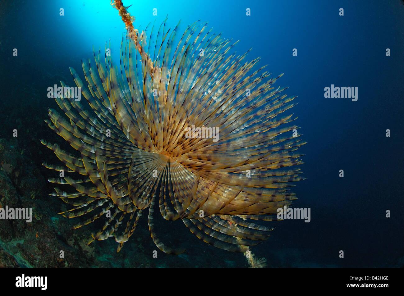 Spirographis Fan Worm Spirographis spallanzani Maun Island Adriatic Sea Croatia - Stock Image