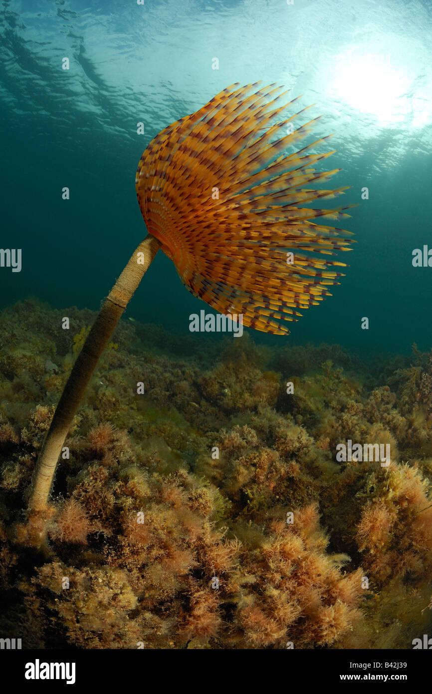 Spirographis Fan Worm Spirographis spallanzani Piran Adriatic Sea Slovenia Stock Photo