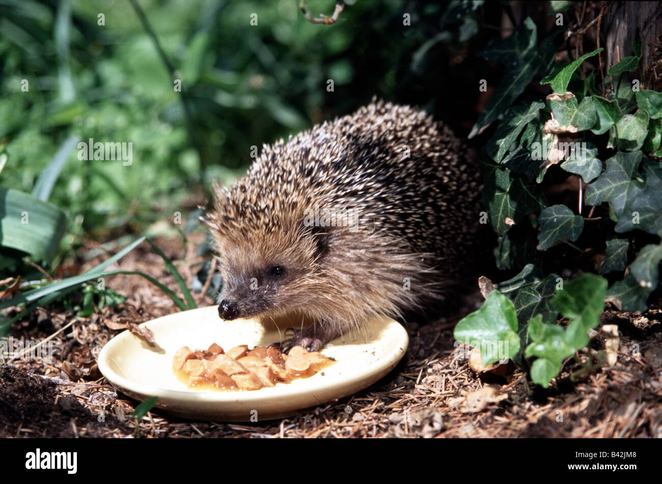 zoology / animals, mammal / mammalian, hedgehog, (Erinaceus europaeus), young hedgehog eating from plate, distribution: - Stock Image