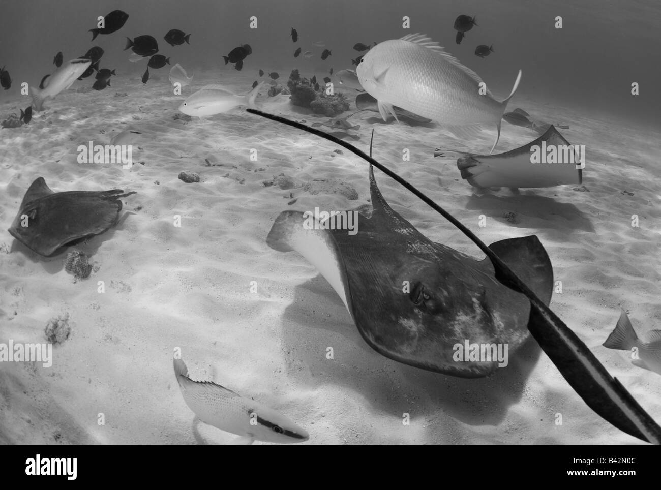 Southern Stingrays at Stingray City Dasyatis americana Grand Cayman Caribbean Sea Cayman Islands - Stock Image