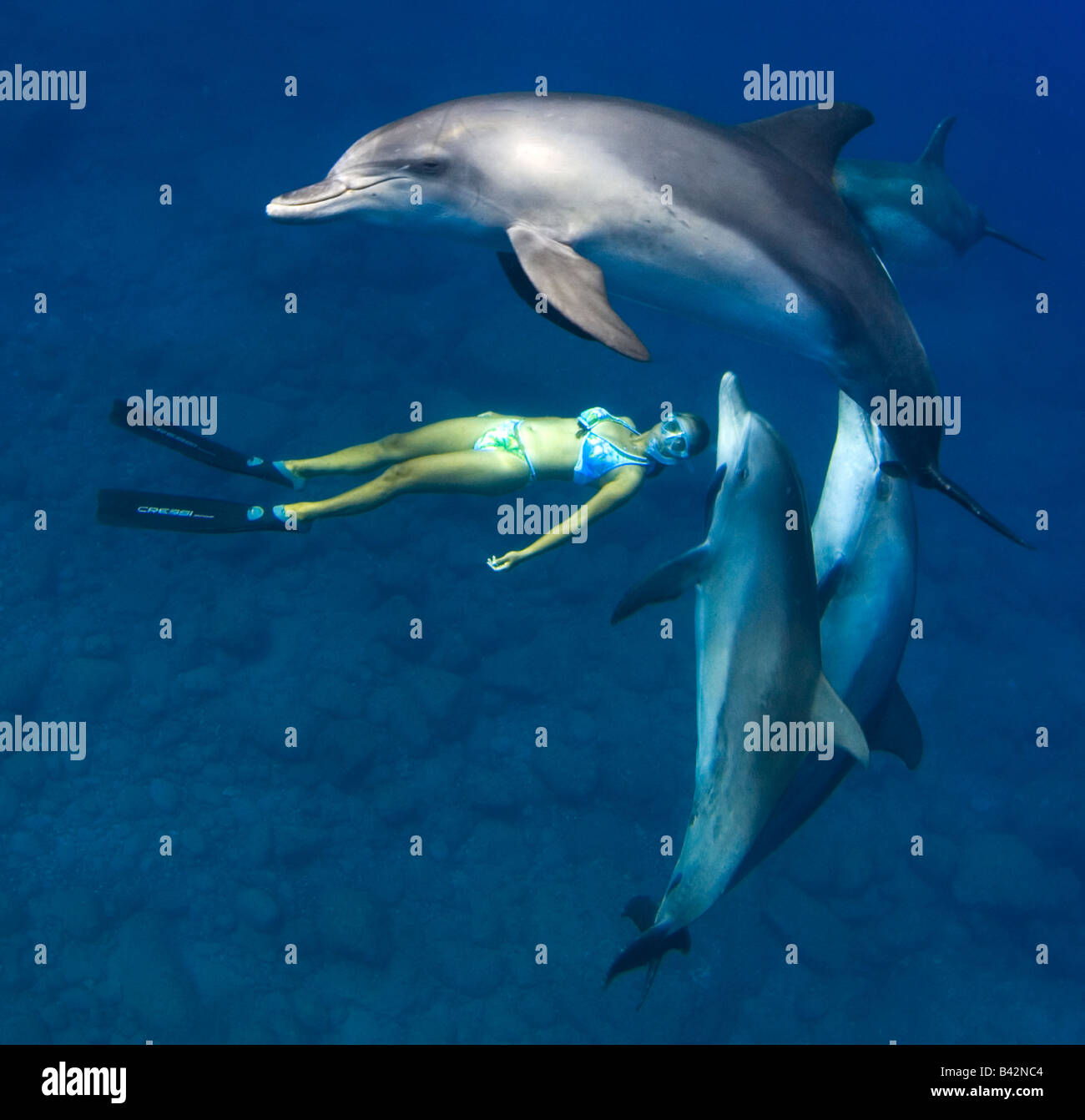 Indo Pacific Bottlenose Dolphins and Freediver Tursiops aduncus Mukojima Group Ogasawara Islands Pacific Ocean Japan - Stock Image