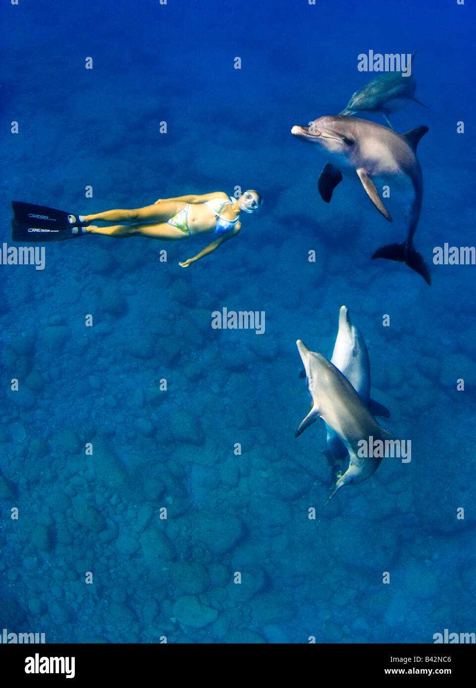 Indo Pacific Bottlenose Dolphins and Freediver Tursiops aduncus Mukojima Group Ogasawara Islands Pacific Ocean Japan - Stock Image