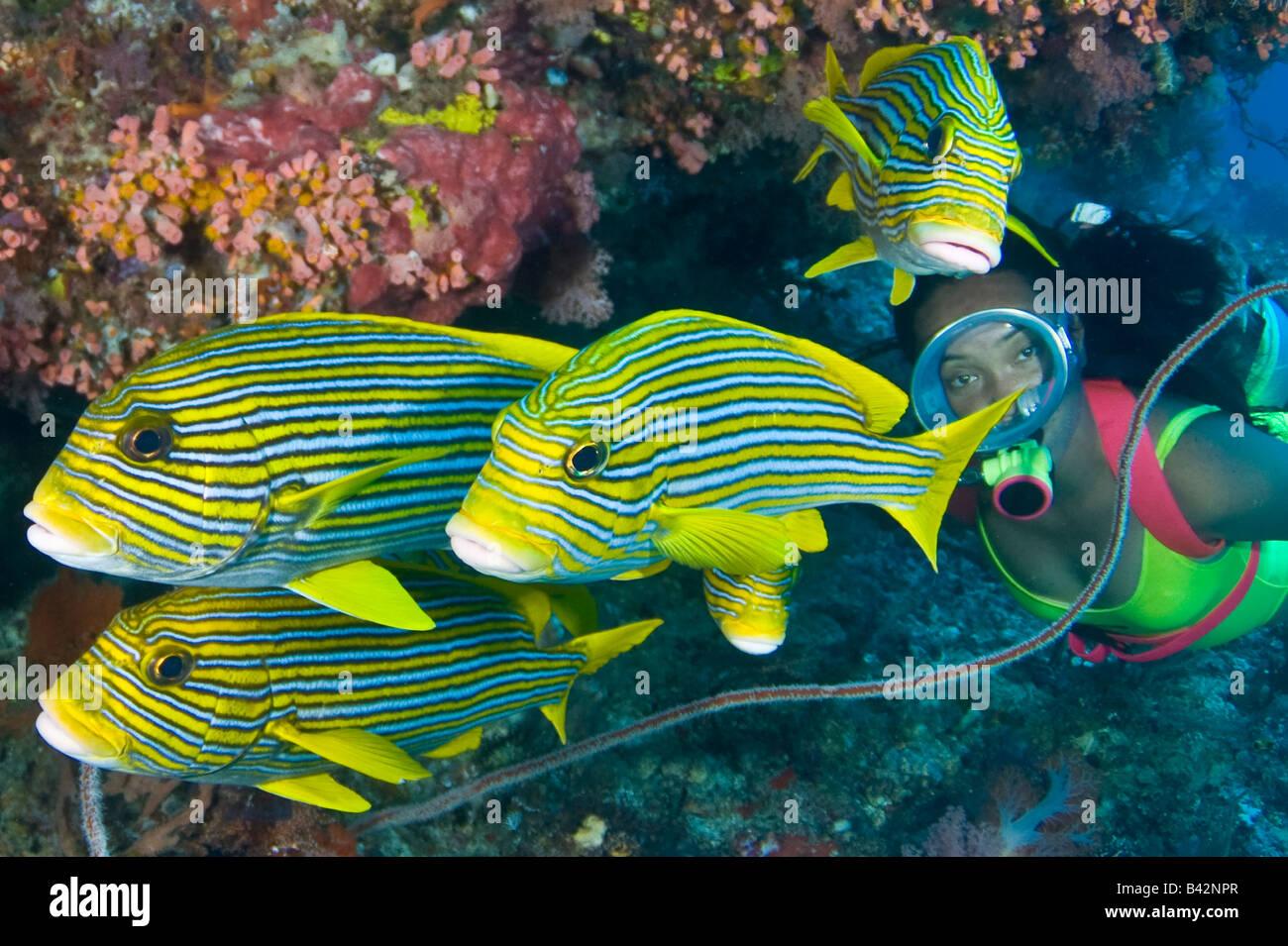 Yellow Ribbon Sweetlips and Diver Plectorhinchus polytaenia Komodo Lesser Sunda Islands Flores Sea Indonesia - Stock Image