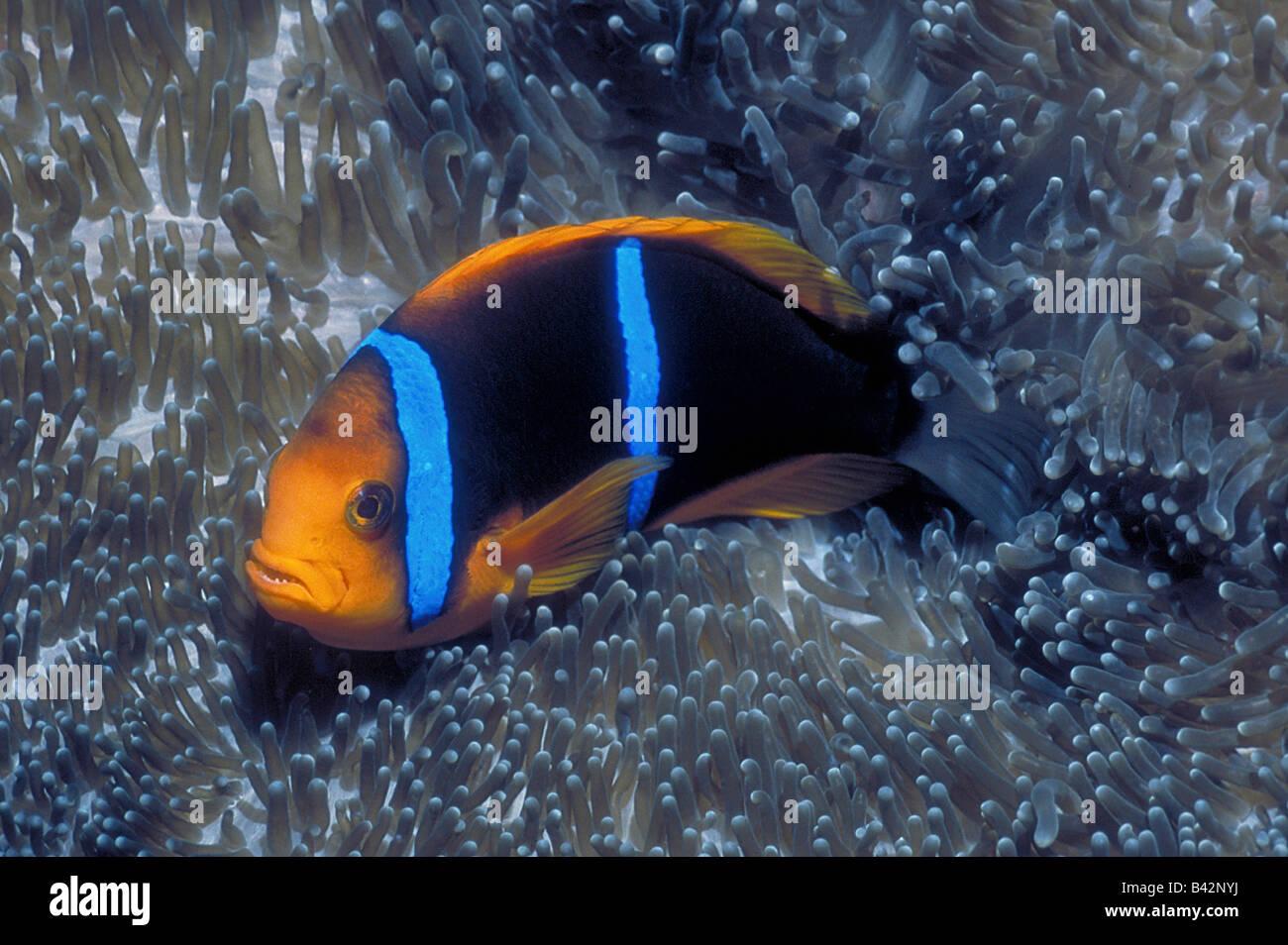 Orange fin Anemonefish Amphiprion chrysopterus Caroline Islands Pacific Kosrae Micronesia Stock Photo