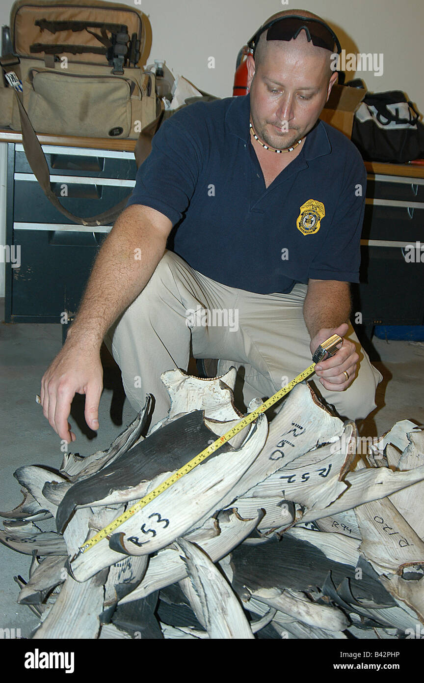 Customs Officer check out illegal Shark Fins Micronesia Mariana Islands Pacific Ocean Guam - Stock Image