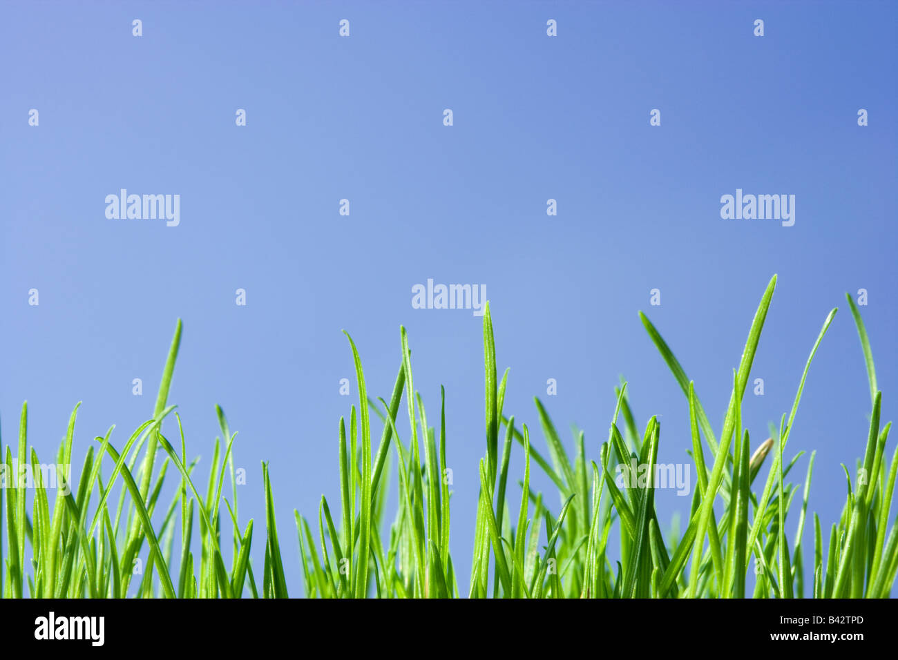 Grass, low angle against blue sky. - Stock Image